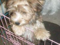 Charlie is a big yorkie male puppy. He weighs 9 lb. and