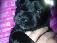 APRI Miniature Schnauzer Puppies DOB: 9/15/15 Date
