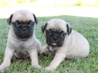 I have a litter of Pug puppies readily available. Two