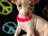 1 lovely APRI registered Chihuahua puppy. UTD on shots.