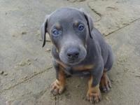 APRI signed up doberman male puppy. Approximately date