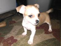 APRI Registered Male Chihuahua! He is Shorthair and was