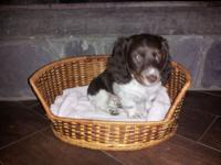 I have one male miniature dachshund left that needs a