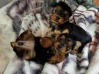 I have One male and One female yorkie Puppies for sale