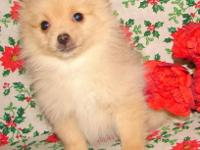 THIS IS A VERY BEAUTIFUL SMALL FEMALE POMERANIAN. SHE