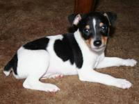I Have a litter of Toy Fox Terriers DOB April 15,2013.