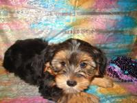 TERRIFIC MALE PUPPY. HE IS SO SWEET AND HE IS FULL