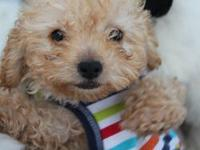 How precious! Fluffie is a beautiful male Maltipoo