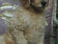 Multigen Labradoodle Pup Ready to go house NOW. Born-6