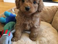 Stunning Cockapoo pups with matching personalities,Pups