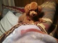 beautiful male apricot toy poodle 6 months old. reduced