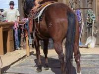 CB is an AQHA Bay Gelding. 14.3H. 13 yrs. Nice horse.