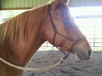 This five year old gelding is breed top and bottom for
