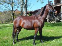 Very nice AQHA aged gelding that we bought for our