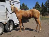 2010 AQHA palomino colt, registered name is JACKIE BEE