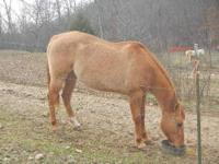 AQHA mare for sale , red dun , huge BABYS STORMY JO was