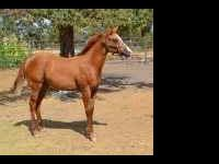 lovely registered AQHA red dun filly born march 25,2011