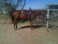 Dash is a , 7 yr old, 15.1 hh, SUPER GENTLE, LEVEL
