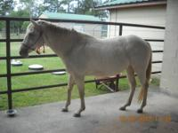 AQHA Registered Amber Cream Champagne Mare 2 n1