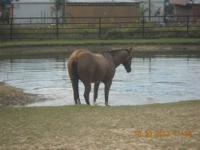 AQHA Registered Dun mare 2 n 1 package Registered thru
