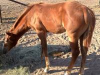 Very nice and wellbred registered AQHA mares and colts