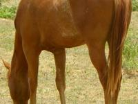 Foaled 3-23-13 will be ready to go August 1st, very