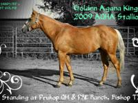 Golden Agana King is a 2009 AQHA Palomino stallion