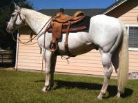 AQHA BEAUTIFUL 12YR 15.1HHS, STOUT AND STONG GELDING,