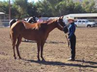 APHA Reg. Breed Stock Paint Mare (2003). 8 Years Old.
