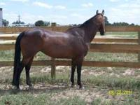 """Tessie Sugar Bars"" - 1997 registered AQHA appendix bay"