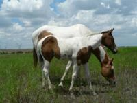 Sonny is a 13 year old AQHA registered gelding. He is a