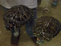 two red eared slider turtles....not sure of their