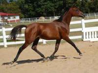 Beautiful bay Mare 4yrs old, broke. Needs more training