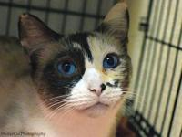 Arabella's story Gorgeous young DSH Snowshoe