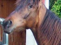 Arabian - Aidan - Large - Adult - Male - Horse
