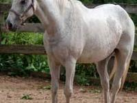 Arabian - Alfie - Medium - Adult - Male - Horse 15 yr,