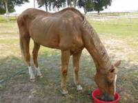 Arabian - Asiya - Medium - Senior - Female - Horse