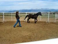 Arabian - Beau - Medium - Young - Male - Horse Beau is