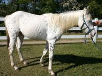 Arabian - Blue - Medium - Young - Female - Horse Bay
