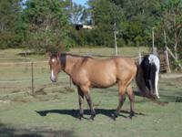 Arabian - Buddy - Medium - Young - Male - Horse