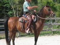 Arabian - Cadence - Medium - Senior - Male - Horse