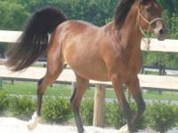 Arabian - Caesar - Medium - Adult - Male - Horse Caesar