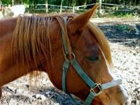 Arabian - Chance - Large - Adult - Male - Horse 8yr old