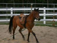 Arabian - Chance - Medium - Adult - Male - Horse This