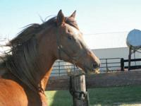 Arabian - Dominique - Large - Adult - Female - Horse