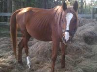 Arabian - Donnie - Medium - Young - Male - Horse Sweet