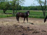 Arabian - Freckles - Large - Senior - Female - Horse
