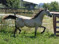 Arabian - Glimmer - Large - Adult - Female - Horse