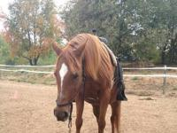 Arabian - Glory - Large - Senior - Female - Horse Meet