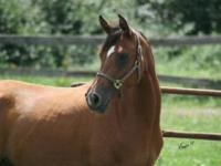 Arabian - Glow - Large - Young - Female - Horse Glow,